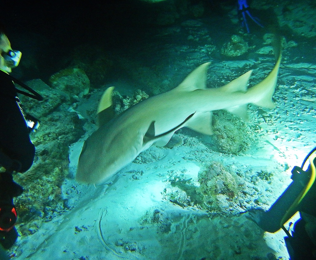 Nurse shark on night dive, Maldives