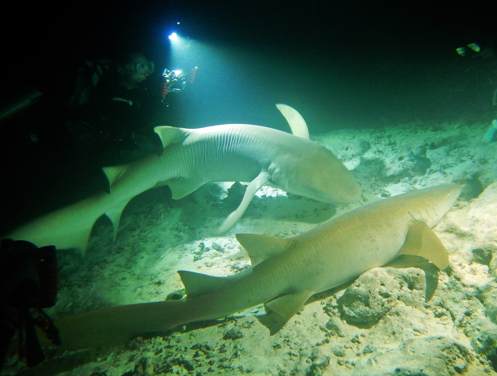 Nurse sharks on night dive, Maldives