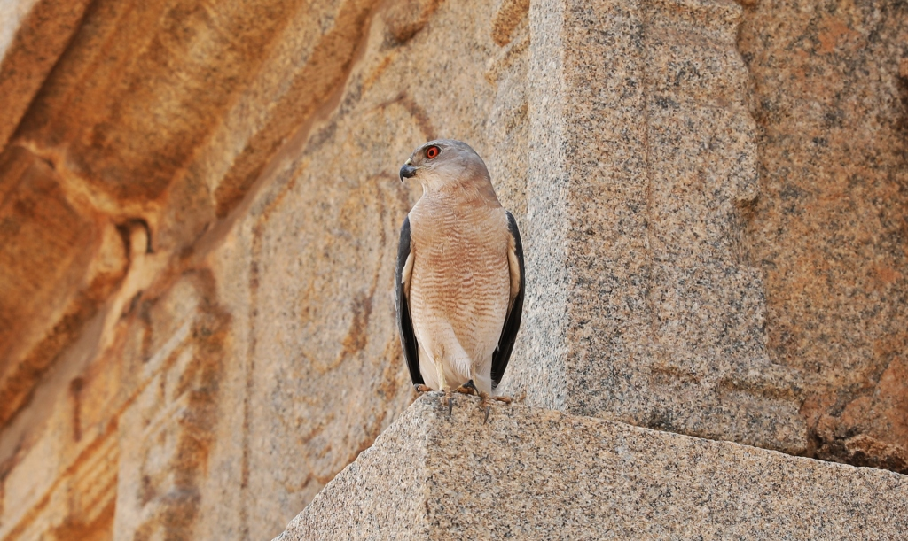 Hawk on the ruiins, Hampi