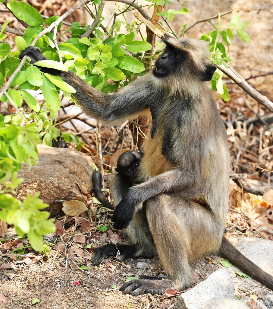 Grey Langur mom and baby