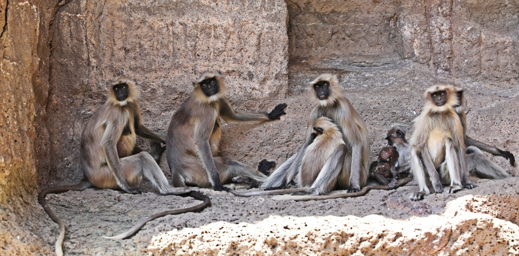 Troupe of Grey Langur monkeys, Ajanta