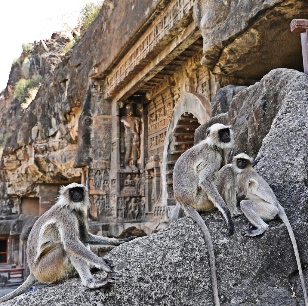 Grey Langur monkeys in front of rock-cut temples,,Ajanta