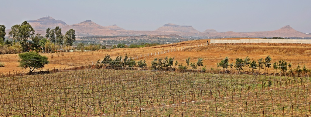 Vineyards with horizontal trellises, YORK Winery, Nashik
