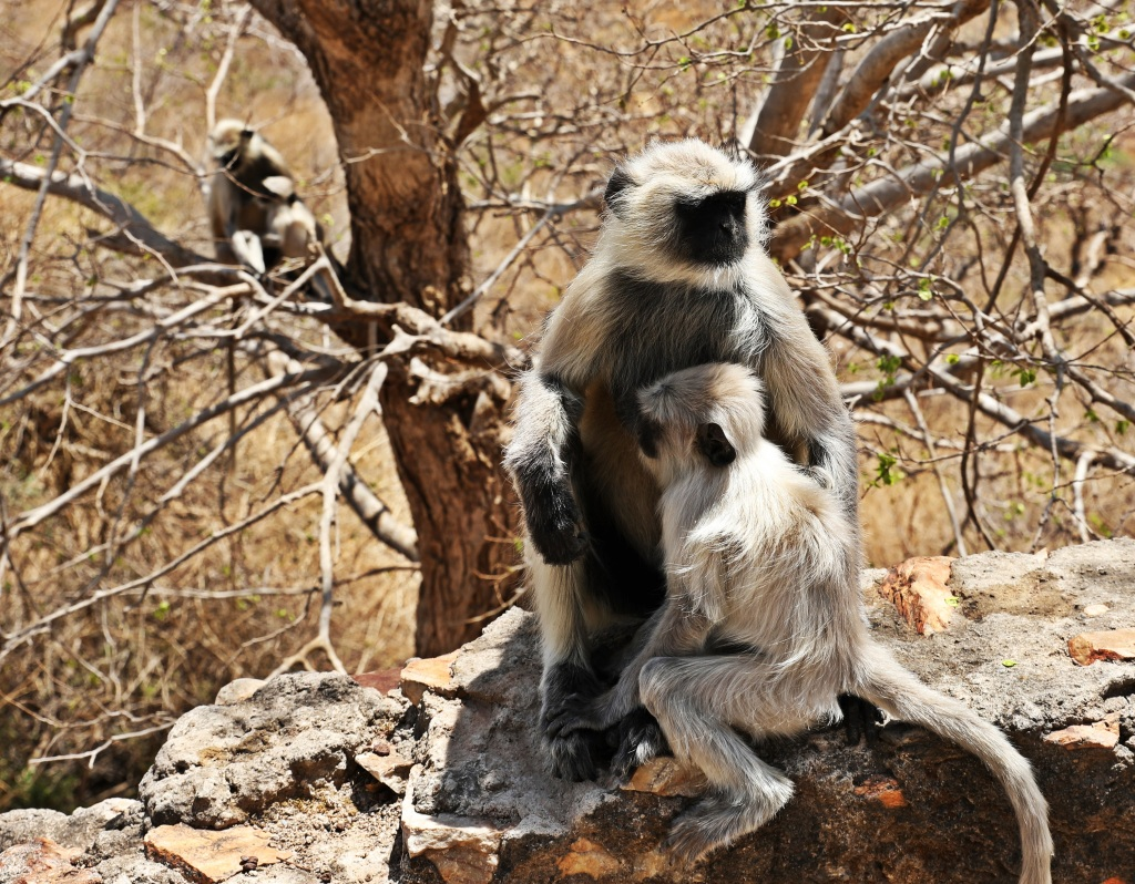 Grey Langurs, Monsoon Palace, Udaipur