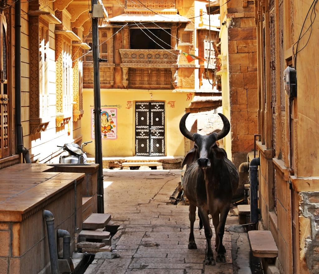 Street cow, Jaisalmer