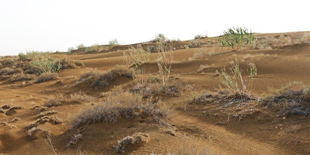 Desert Grass, Thar Desert
