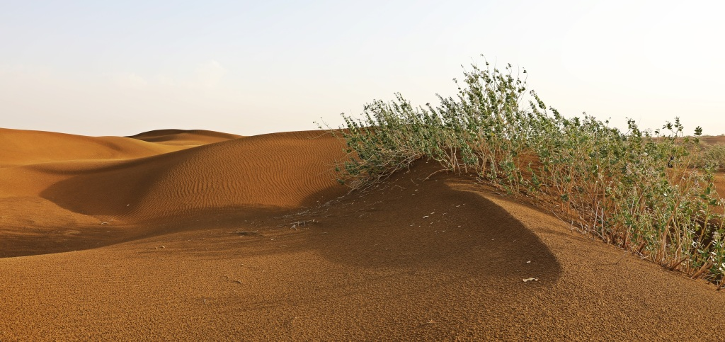 Scrub brush and sand dunes, Thar Desert