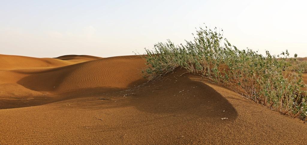 Scrub brush and sand dunes, Thar Desert