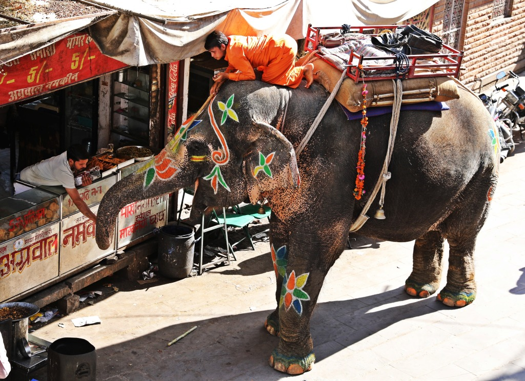 Temple elephant getting a treat on the streets of Jodhpur