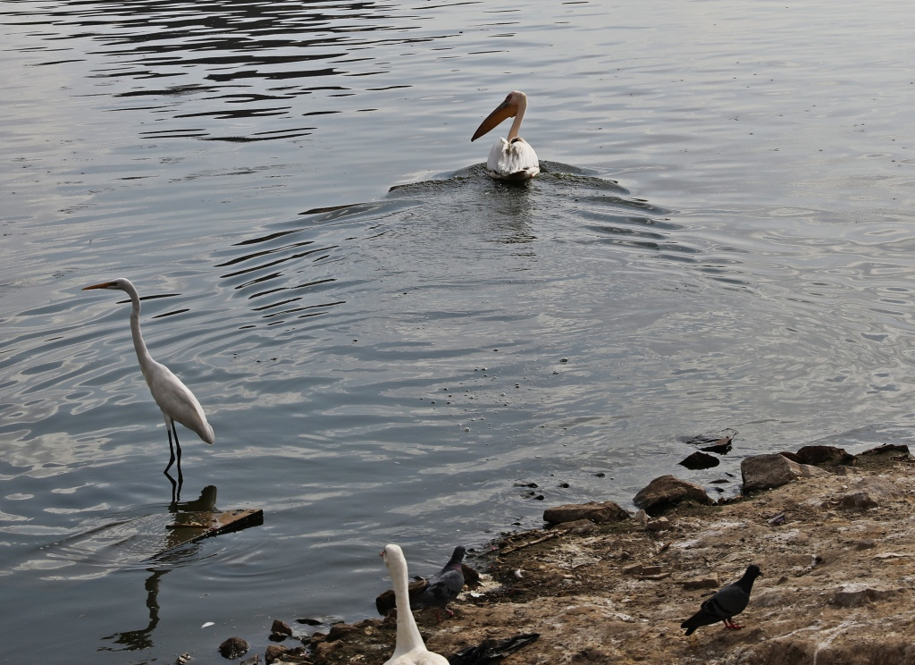 Pelican and egrets, Pushkar Lake