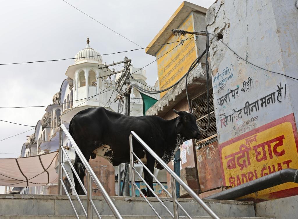Street cow, Pushkar