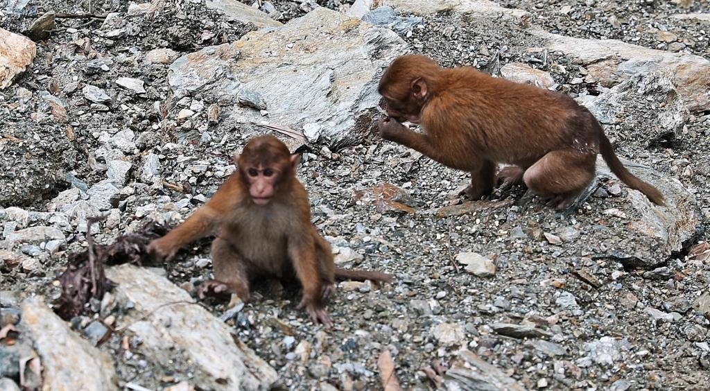 Assam Macaques, Sikkim