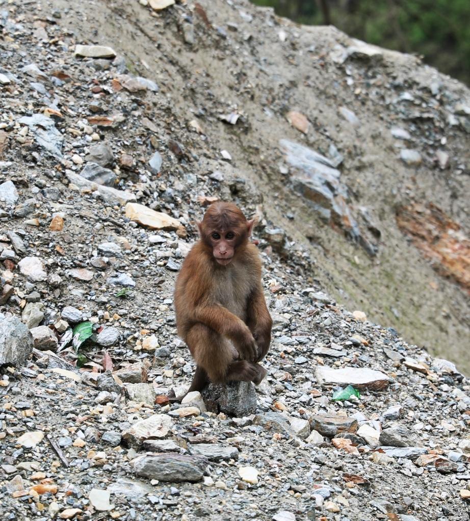 Assam Macaque monkey, Sikkim