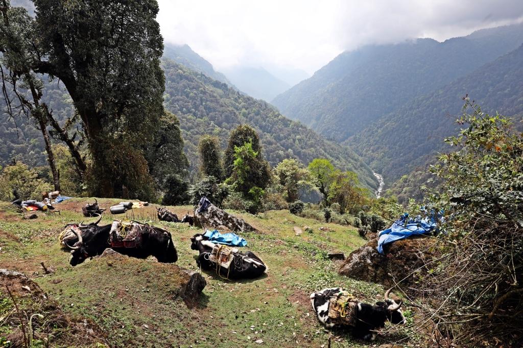 Yaks with loads, Day 2, Goecha La Trek