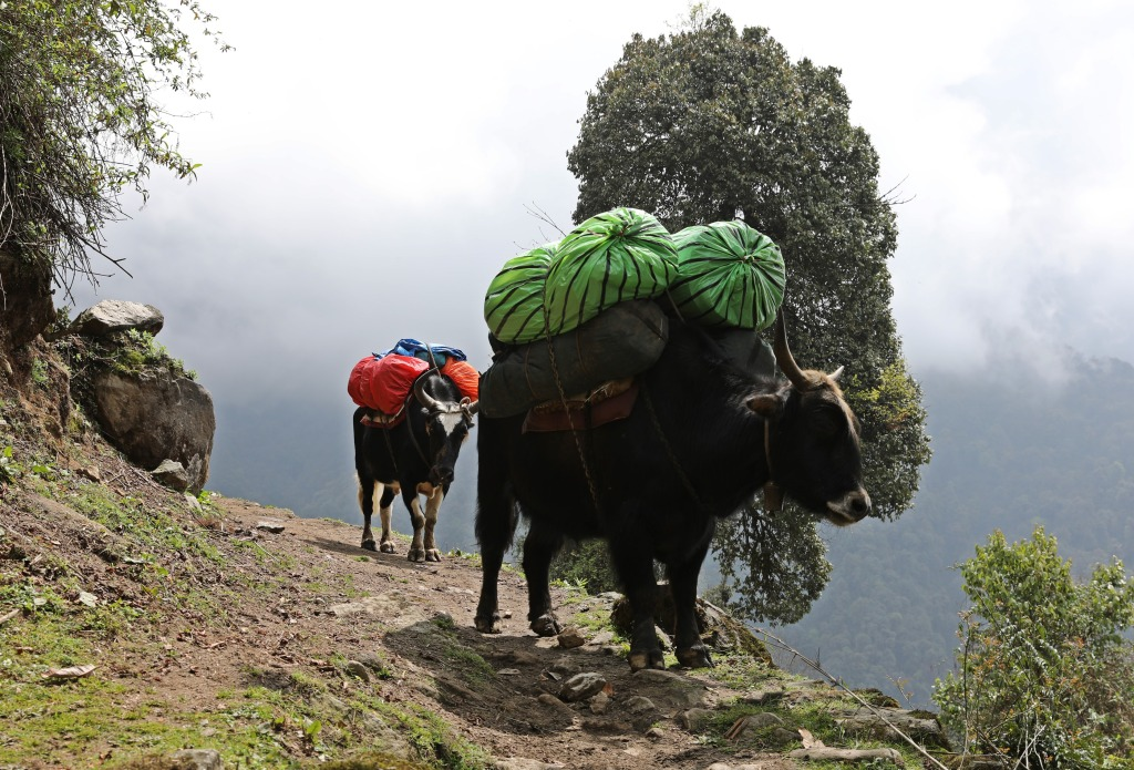 Yaks with loads, Day 2, Goecha La Trek