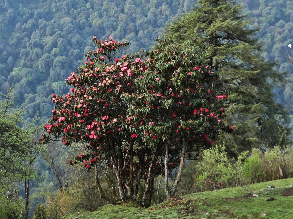 Rhododendrons, Goecha La Trek