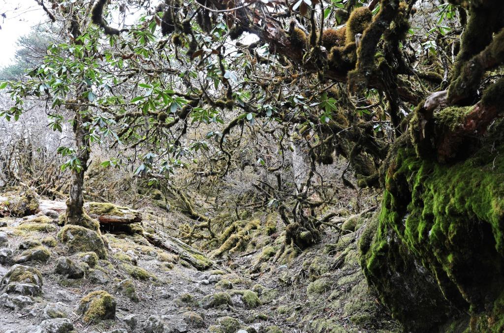 Spooky moss forest, Day 3, Goecha La Trek