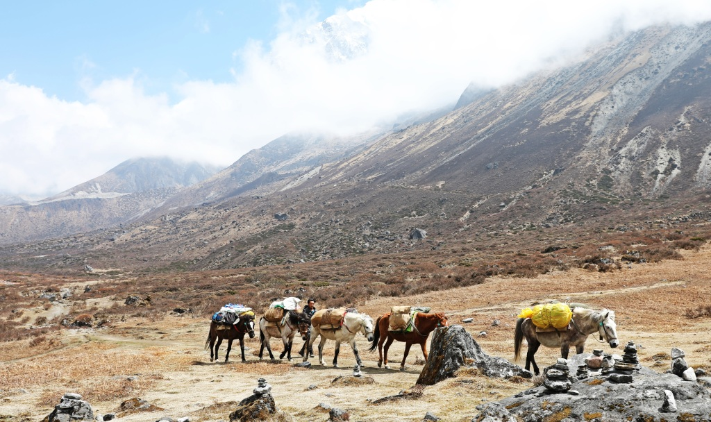 Pack horses, Lamuney Camp, Goecha La Trek