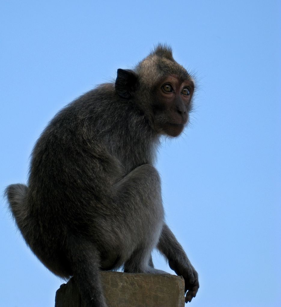 Grey Long-tailed Macaque, Uluwatu Temple, Bali