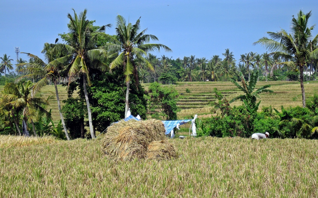 Rice paddy, Ubud