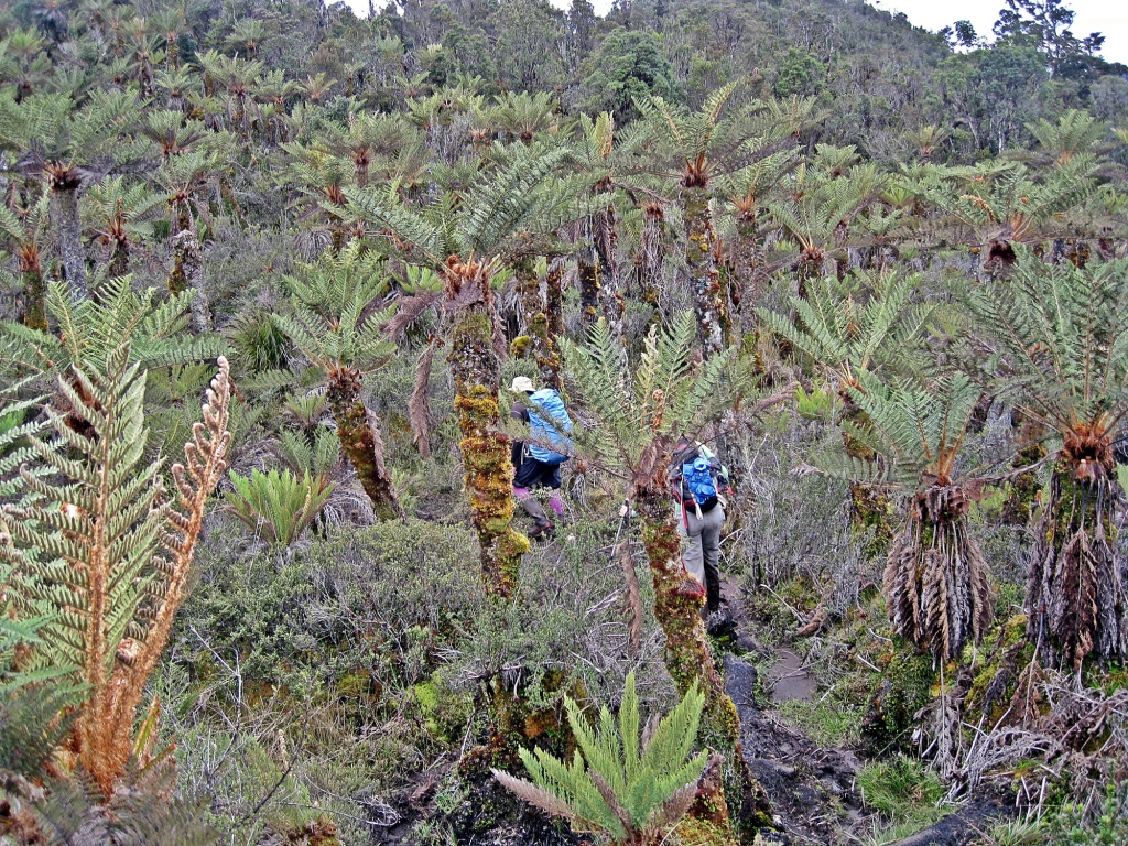 Tree fern forest, Carstensz Pyramid Trek