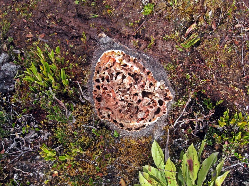 Sarang semut plant, Papua Province