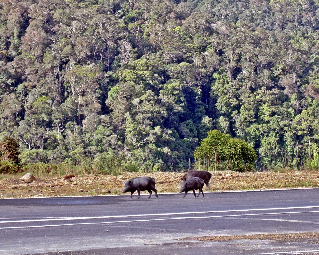 Sugapa runway pigs