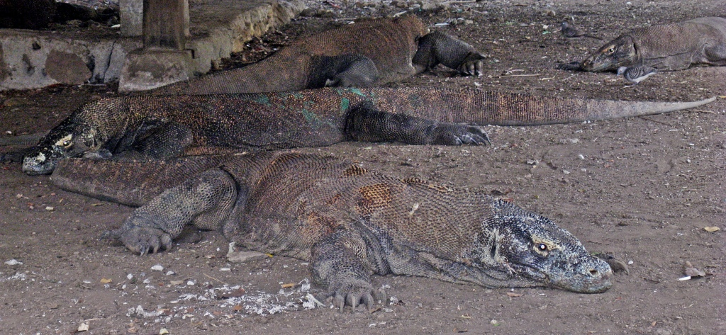 Komodo Dragons, Komodo National Park