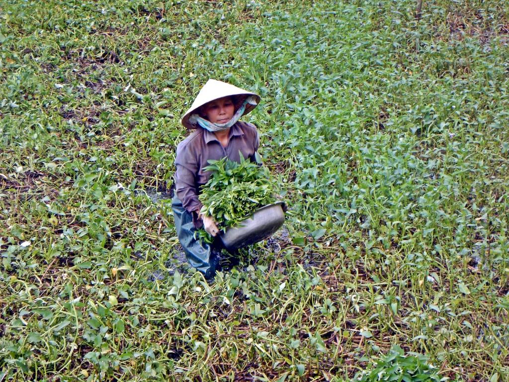 Farmer, Hoi An