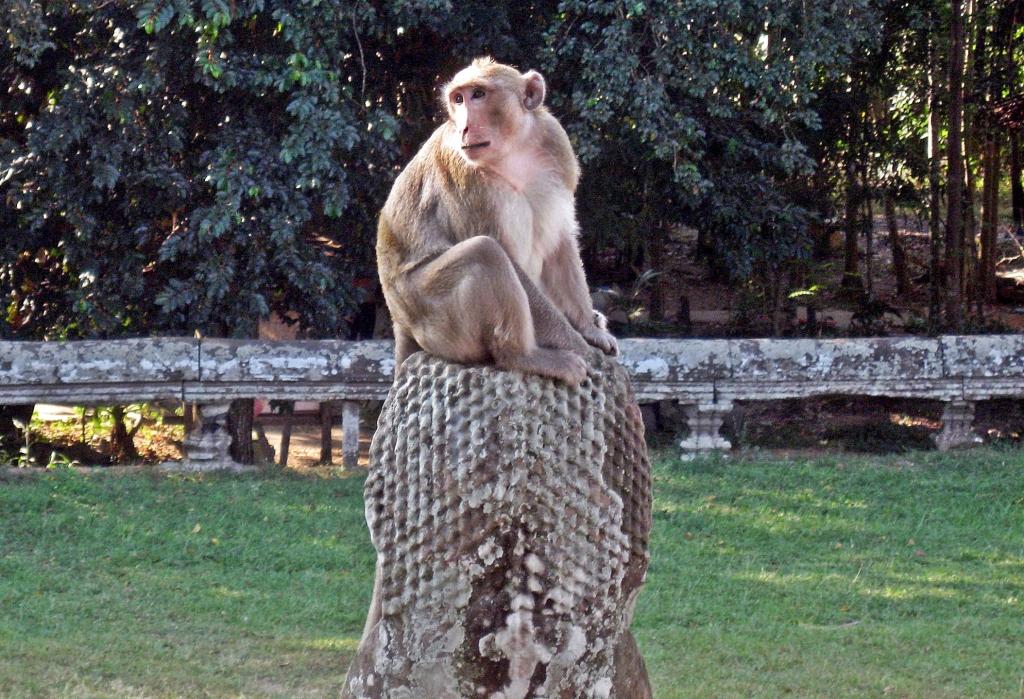 Macaque, Angkor Wat