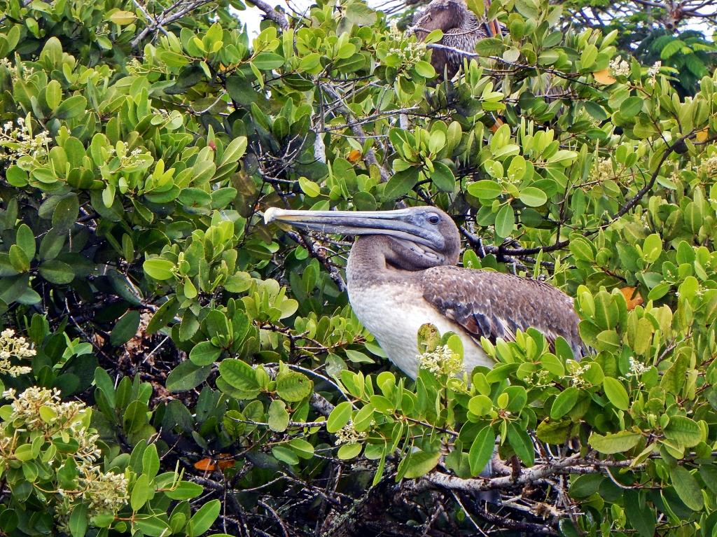 Brown Pelican, Puerto Ayora, Galapagos