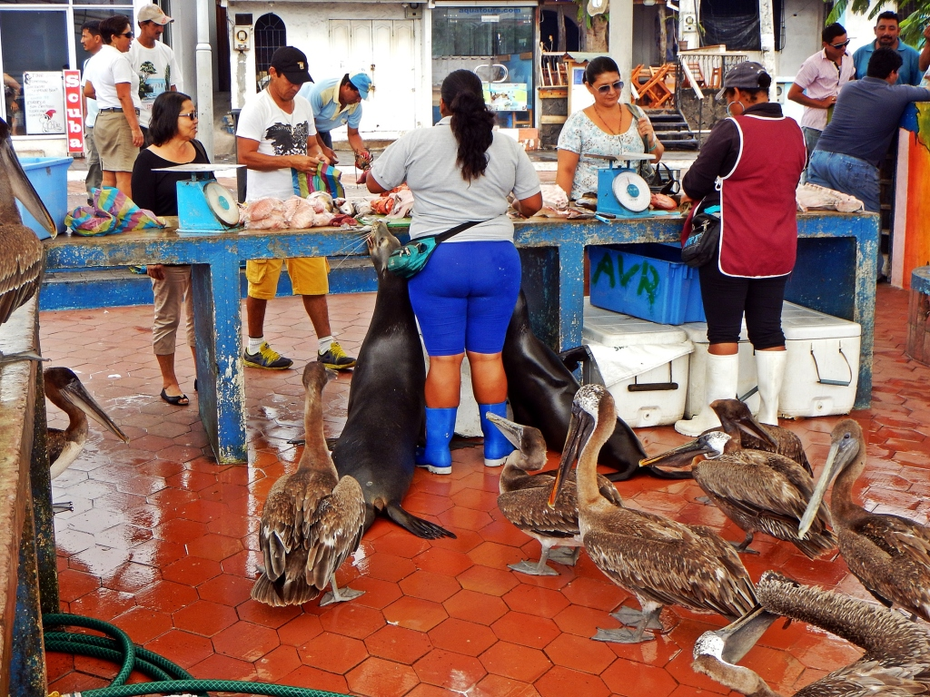 Beggars at the fish market in Puerto Ayora, Galapagos