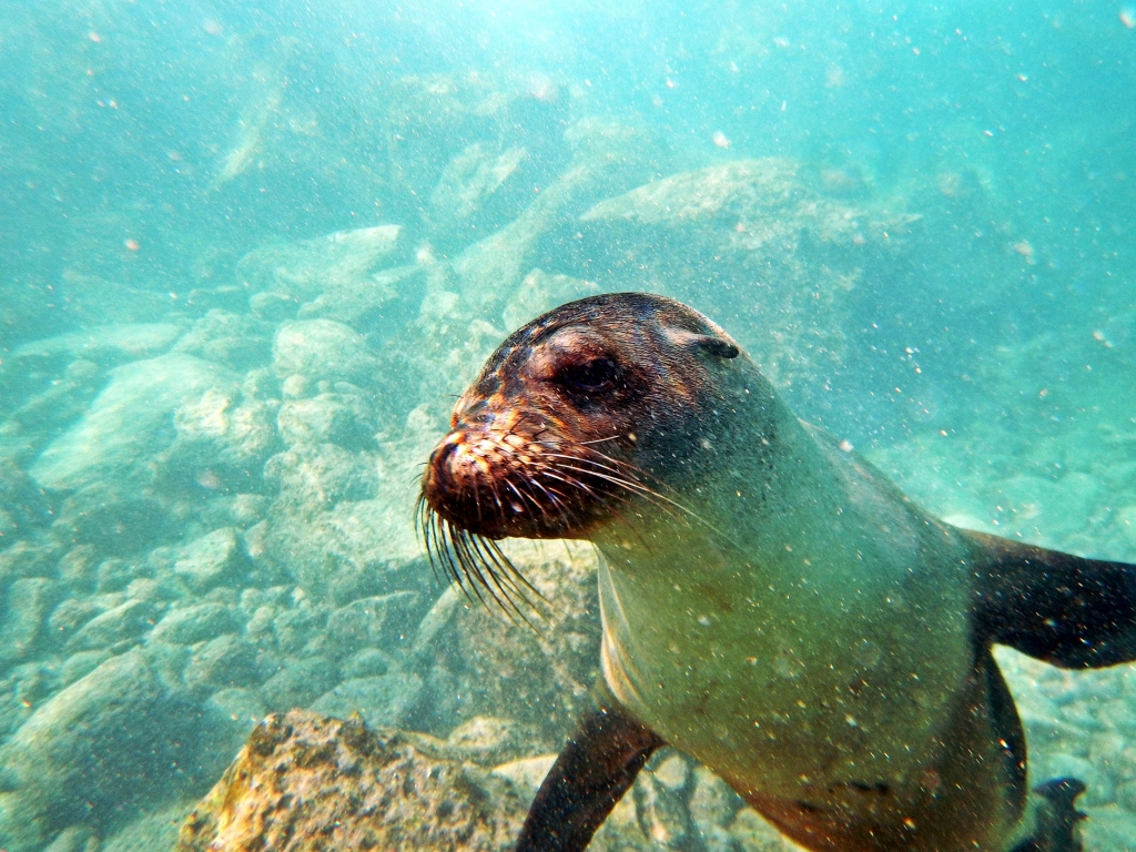 Swimming with a sea lion, Galapagos
