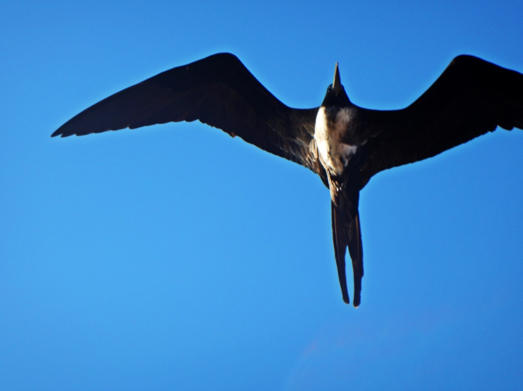 Female Frigate, Galapagos