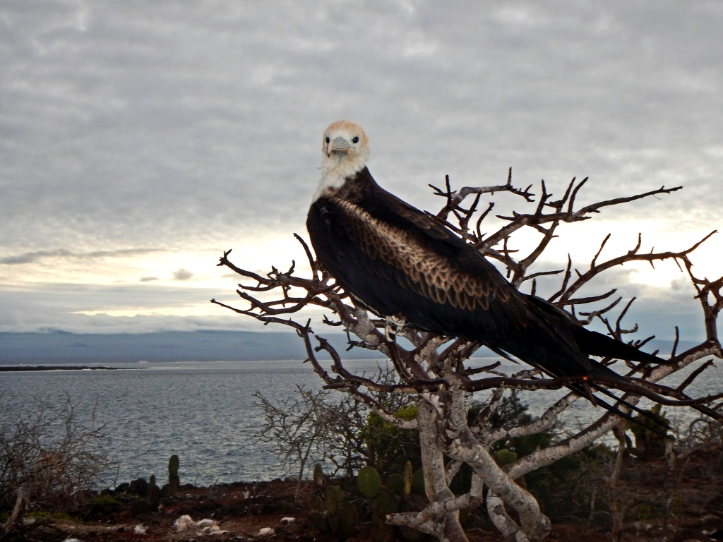 Young frigatebird on a palo santo tree, Galapagos