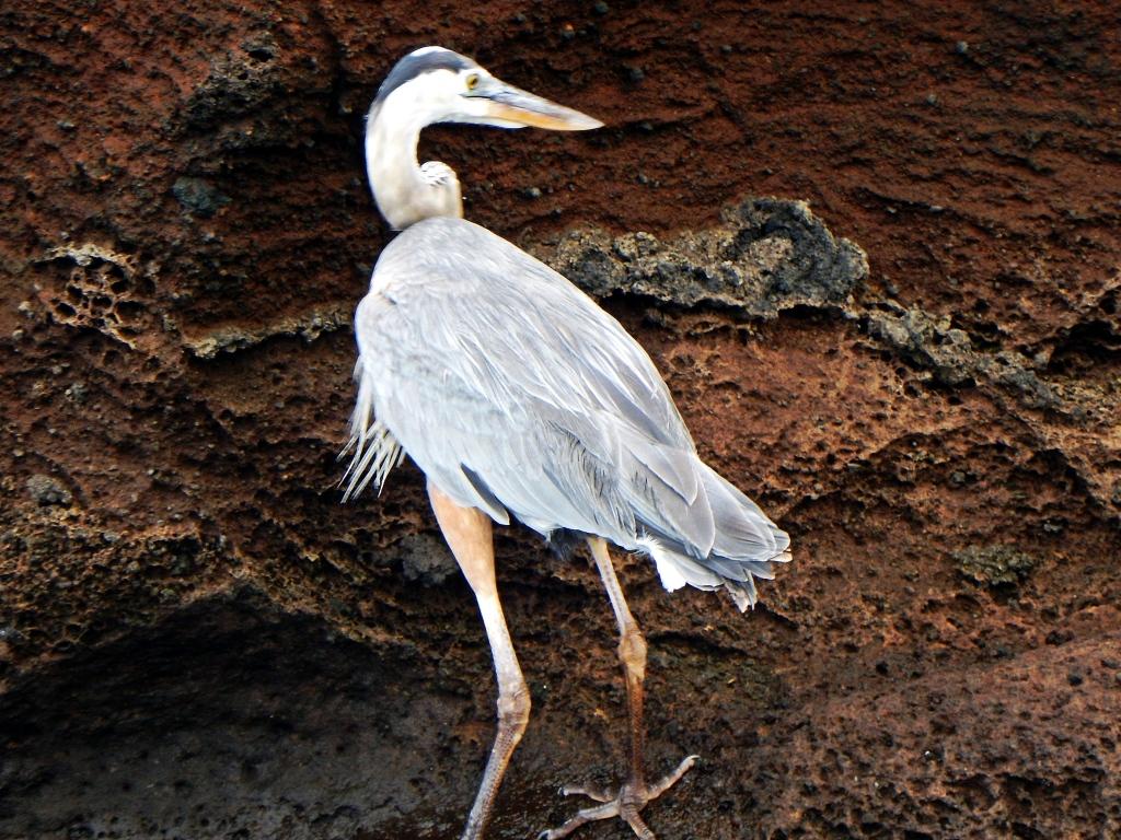 Blue Heron, Galapagos