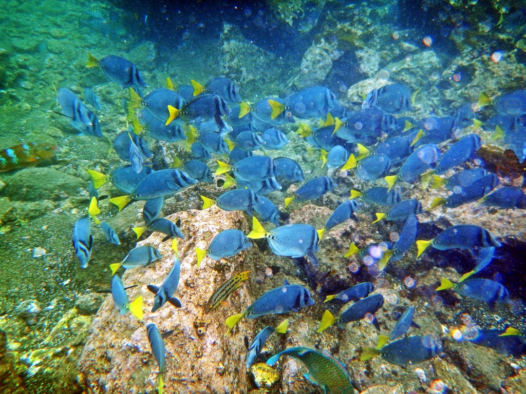 School of colourful reef fish, Galapagos