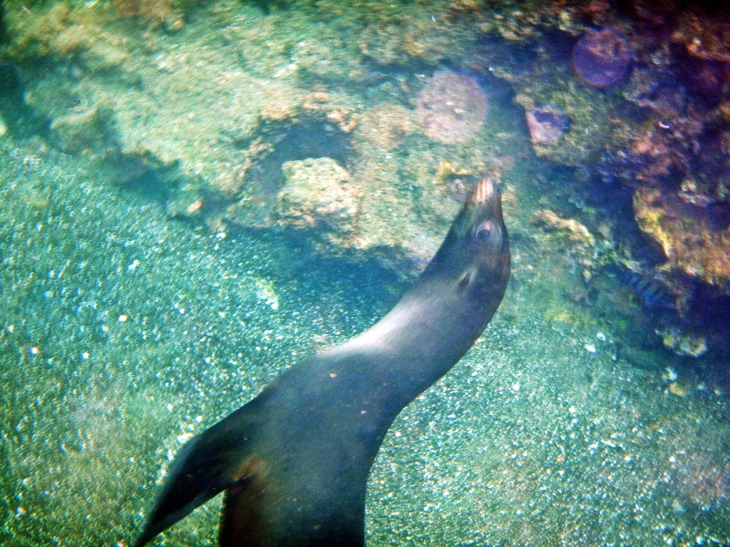 Playful sea lion, Galapagos
