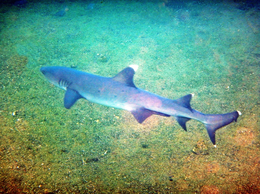 White tip shark, Galapagos