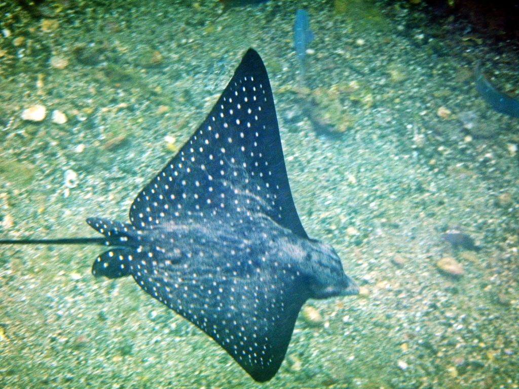 Eagle ray, Galapagos