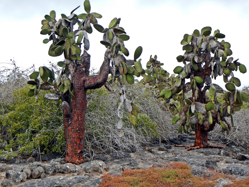 Prickly pear cactus forest, Galapagos
