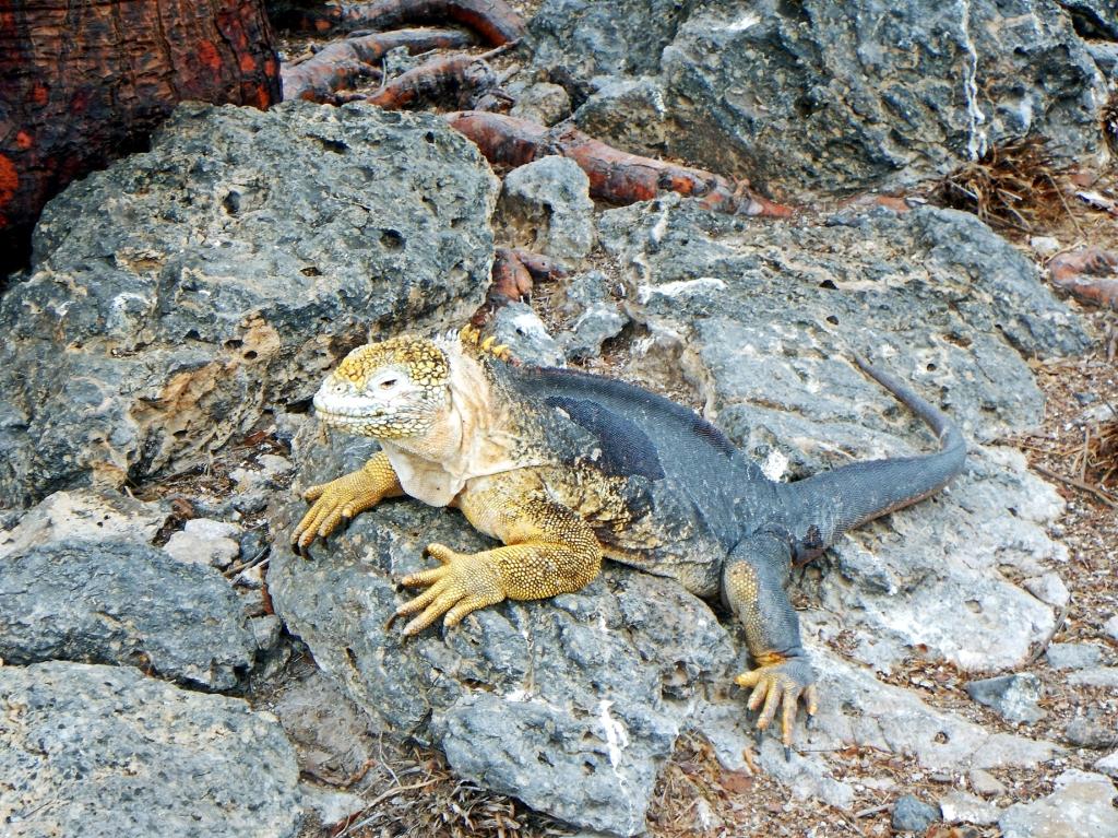 Hybrid iguana, Galapagos