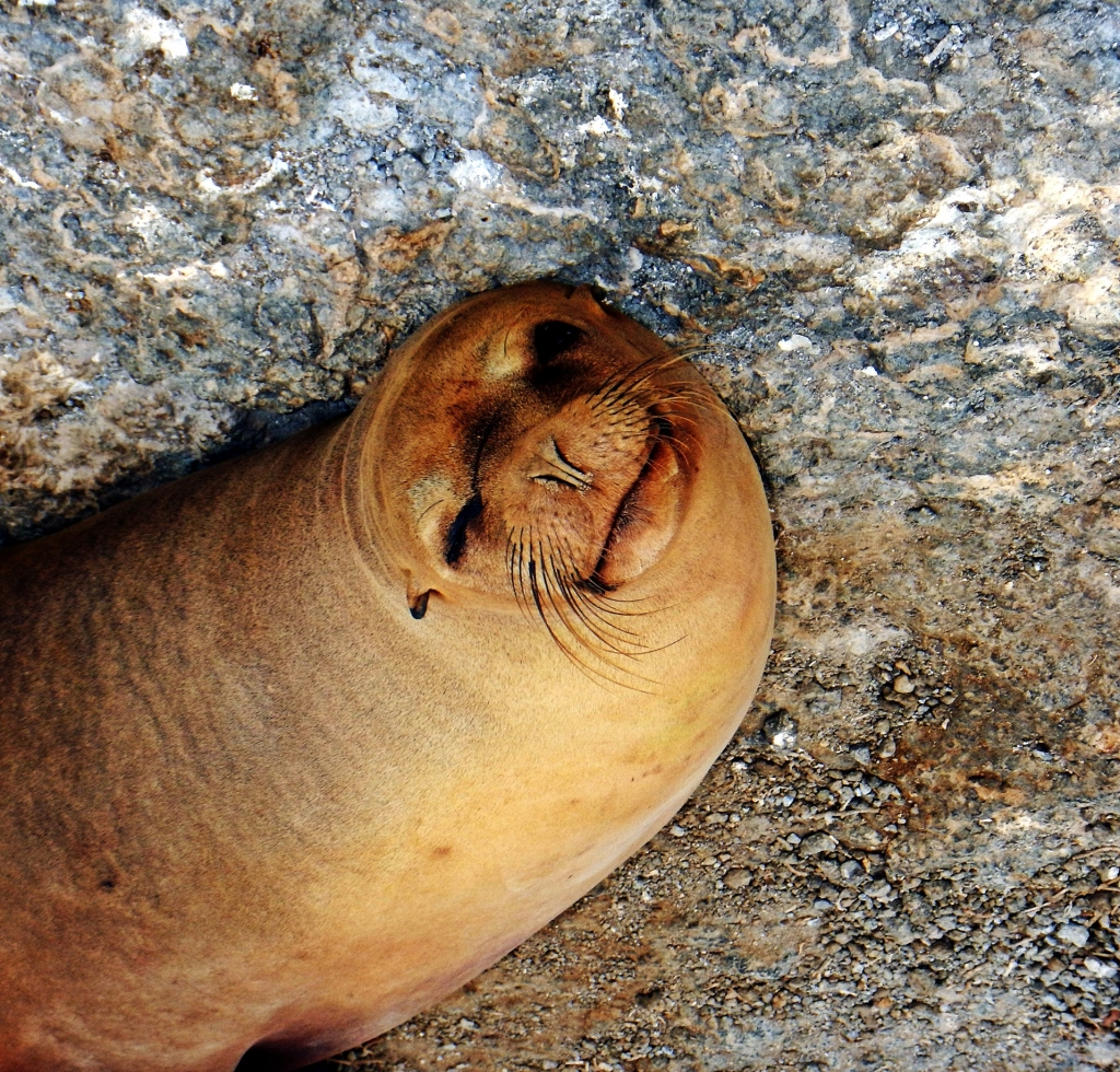 Smiling sea lion, Galapagos
