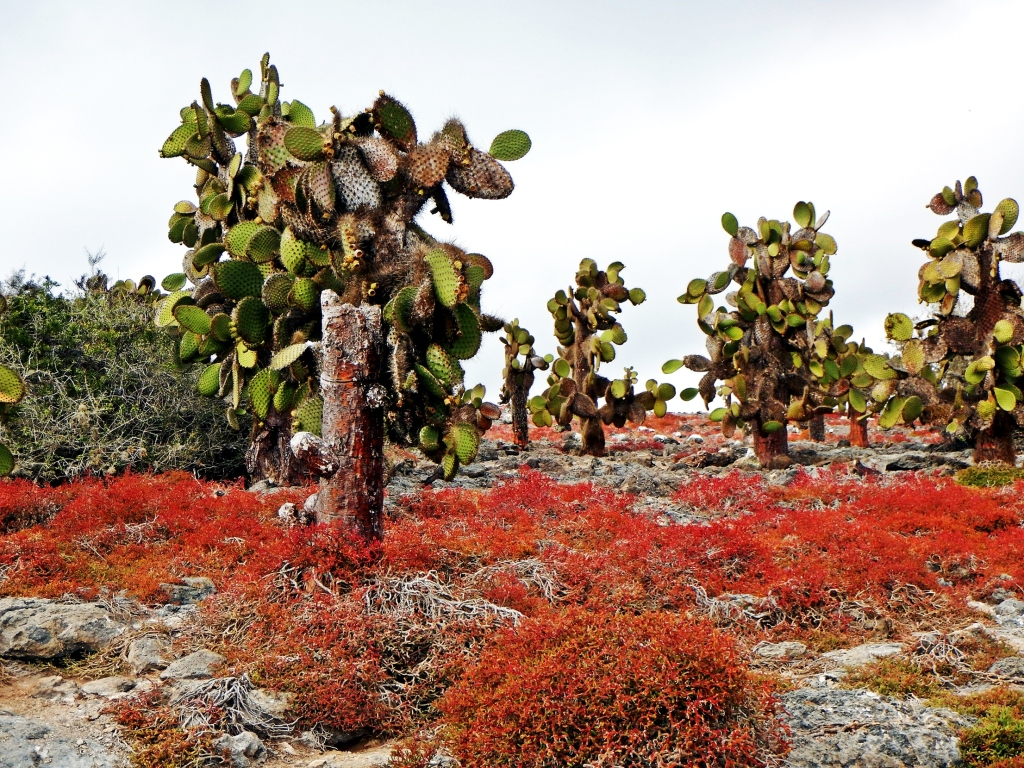 Prickly pear cactus forest and Galapagos common carpet weed
