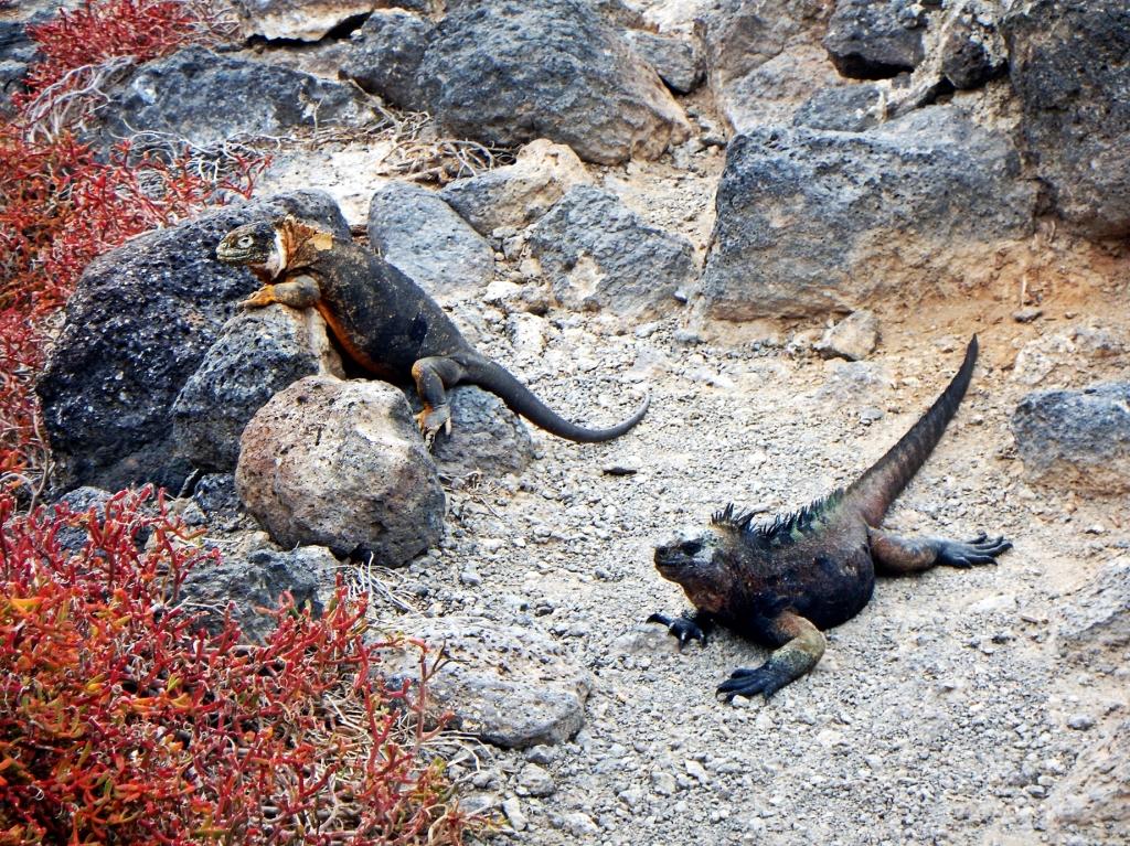 Marine and hybrid iguanas, Galapagos