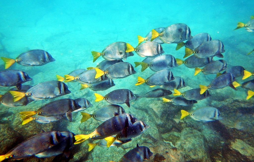 School of reef fish, Galapagos