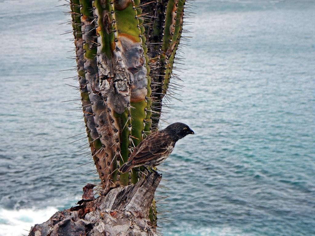 Cactus finch, Galapagos