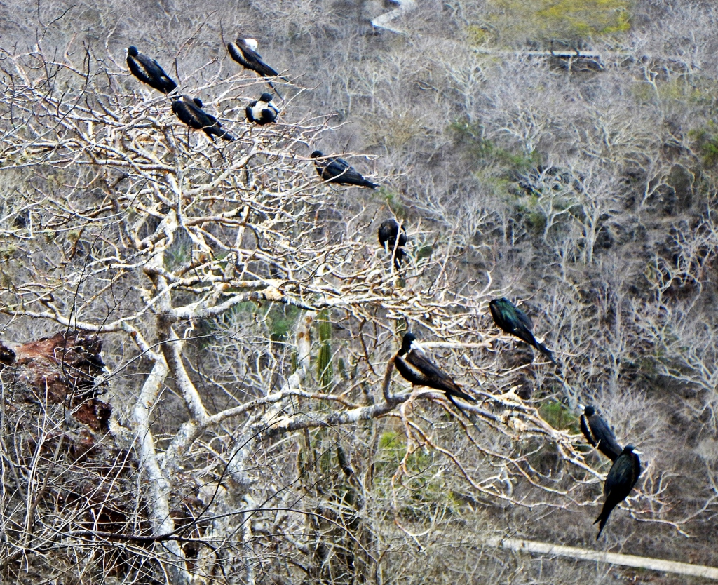 Flock of birds on a palo santo tree, Galapagos