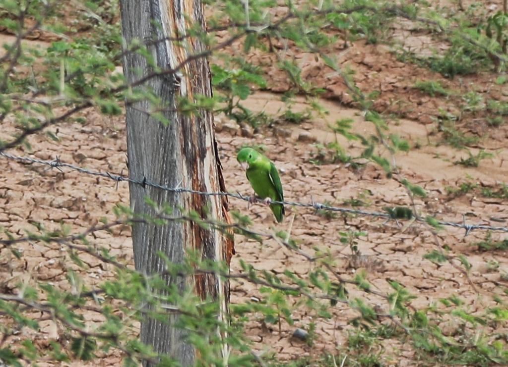 Parakeet, Tatacoa Desert