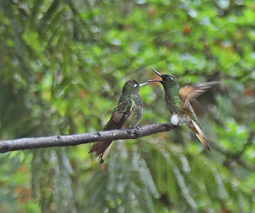 Acaime Hummingbird Sanctuary